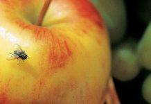 flies biggest pest threats